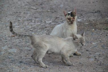 Katzen-Kastrationsverordnung